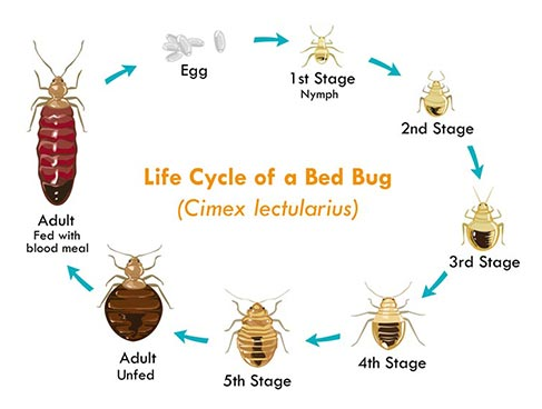 Bed Bugs Orlando- The bed bug reproductive life cycle- Each bug must bite you, shed its exoskeleton, bite again... five times before becoming an adult that can reproduce.